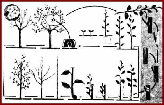 Выращивание культурной яблони