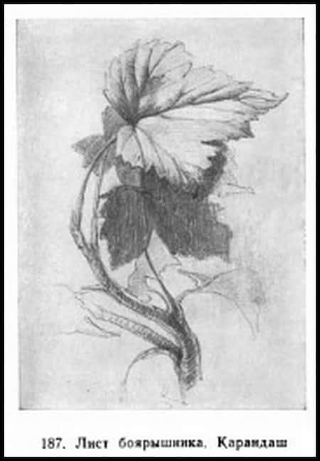 Лист боярышника. Карандаш