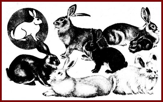 Породы кроликов. Таблица
