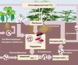 Накопление азотистых веществ мотыльковыми растениями