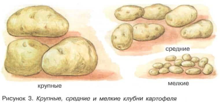 Сортировка клубней картофеля