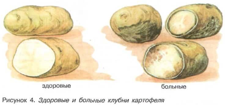 Здоровые и повреждённые клубни картофеля