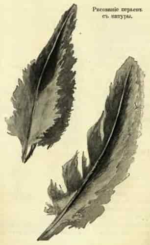 Рисование перьев с натуры