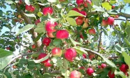 Сибирские яблони
